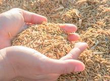 Handen op padie in zonsondergang Royalty-vrije Stock Afbeelding