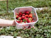 Handen rymmer en ask med nytt skördade röda mogna jordgubbar på bakgrunden av gröna buskar Royaltyfria Foton