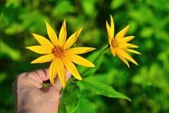 Handen rymmer stora gula blommor arkivbild