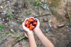 Handen som rymmer en grupp av ny och mogen olja, gömma i handflatan frö arkivfoto