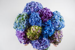 Handen som rymmer en gruppblått, färgar vanlig hortensiavitbakgrund Ljust färgar Lilamoln 50 skuggor Royaltyfri Foto