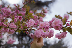 Handen väljer en körsbärsröd blomning Fotografering för Bildbyråer