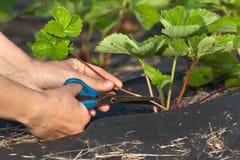 Handen van agenten van de tuinman de scherpe aardbei royalty-vrije stock afbeeldingen