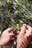 Handen van de olijven van een jonge mensenoogst royalty-vrije stock foto's