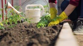 Handen van een jonge vrouw die tomaten planten stock footage