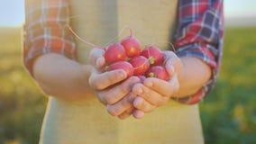 Handen van een landbouwer met een rijpe radijs stock video