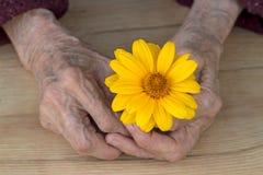 Handen van een oude vrouw met geel madeliefje stock afbeeldingen
