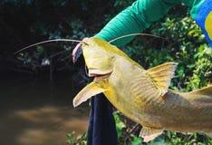 Handen van een visser die een vis houden die Jau genoemd wordt Stock Foto's
