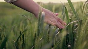 Handen van een vrouw die een gebied van tarwe bij zonsondergang doornemen stock video