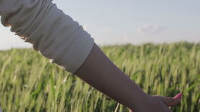 Handen van een vrouw die een gebied van tarwe bij zonsondergang doornemen stock footage
