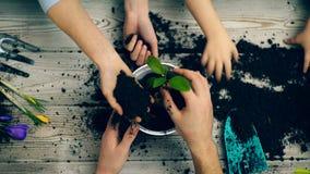 Handen van familieleden die bloemen in een pot plantten De schavende bloemen van het handenclose-up in een pot Het tuinieren conc stock videobeelden