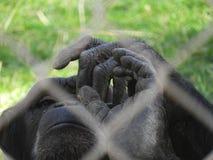 Handen van geredde chimpansee stock afbeeldingen
