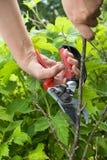 Handen van tuinman die zwarte stroom met snoeischaar snoeien stock fotografie
