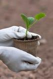 Handen van tuinman in handschoenen die zaailingen van komkommer houden royalty-vrije stock afbeeldingen