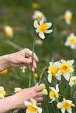 Handen van tuinman het plukken narcissenbloem royalty-vrije stock afbeeldingen