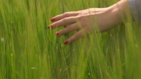 Handen wat betreft tarwe tijdens de lente stock videobeelden