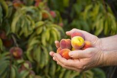 Handenhoogtepunt van perziken Stock Foto
