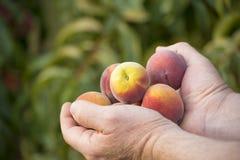 Handenhoogtepunt van perziken Stock Afbeeldingen