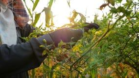Handenlandbouwer die Spaanse peperkorrels op de takken verzamelen stock videobeelden