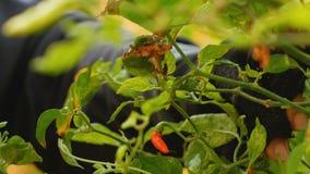 Handenlandbouwer die Spaanse peperkorrels op de takken verzamelen stock video