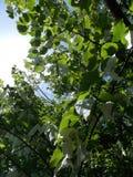 Handerchief träd Royaltyfria Foton
