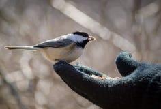Handfeeding een Chickadee Royalty-vrije Stock Foto's