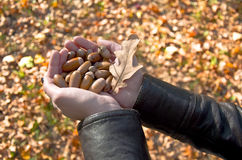 Handful of acorns Stock Photos