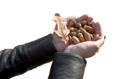Handful of acorns Royalty Free Stock Images