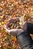 Handful of acorns stock photos