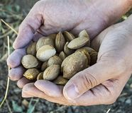 A handful of almonds are good for health, natural almonds, dry almond seeds Royalty Free Stock Photos
