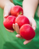 Handful of apples. Woman holding apples in hands Royalty Free Stock Image