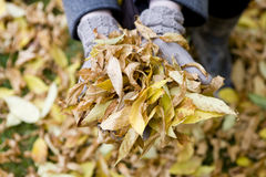 A handful of autumn leaves, close-up Royalty Free Stock Images