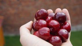 A handful of beautiful fresh cherries royalty free stock photo