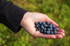 A handful of beautiful ripe sweet blueberries lies in the hands Stock Images