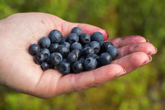 A handful of beautiful ripe sweet blueberries lies in the hands Royalty Free Stock Image