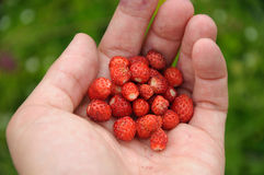 Handful of big ripe strawberry Royalty Free Stock Photos