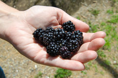 Handful of Blackberries. Displaying juicy roadside blackberries picked during the peak of summer royalty free stock image