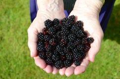 A handful of blackberries. A handful of fresh ripe blackberries Royalty Free Stock Photo