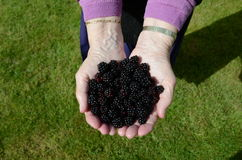 A handful of blackberries. A handful of fresh ripe blackberries Royalty Free Stock Photography