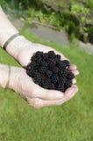 A handful of blackberries. A handful of fresh ripe blackberries Stock Photos