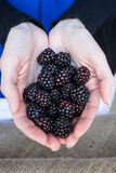 Handful of blackberries Stock Photography