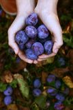Handful of blue plums harvesting photo Stock Photo
