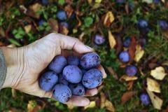 Handful of blue ripe juicy plums Stock Photos