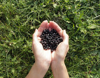 Handful of blueberries. Grass background Royalty Free Stock Photo