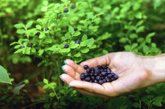 A handful of blueberries in the hands Stock Photo