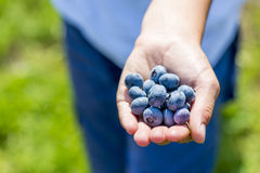 Handful of blueberries Stock Images