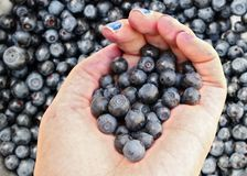 Handful of blueberries in palm of woman before background made out of blueberries royalty free stock photo