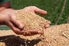 Handful of Bread. Farmer's hands holding freshly harvested cereal wheat grains Royalty Free Stock Images