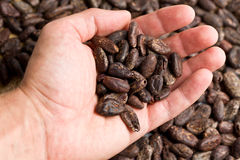 Handful of cacao beans. The handful of cacao beans royalty free stock photography