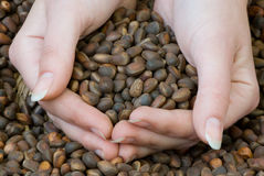 Handful of cedar nuts Royalty Free Stock Photography